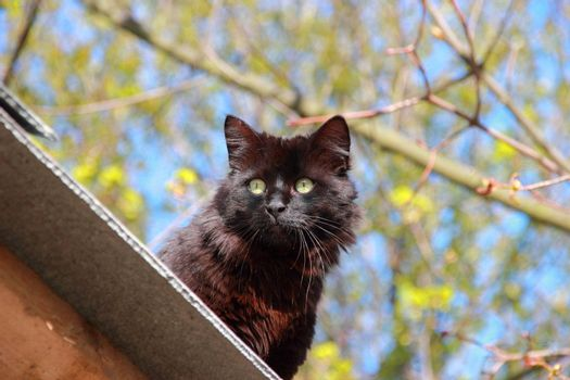 Black fluffy cat . Blue and green background