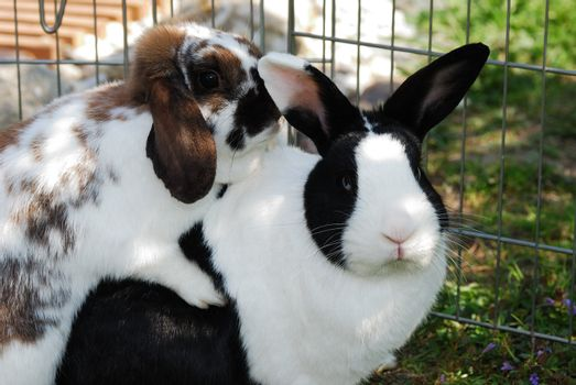 two small white black and brown rabbit love each other