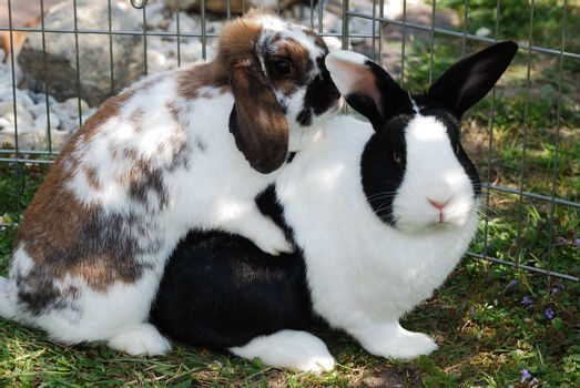 two little bunnies love in the meadow and barn in the garden