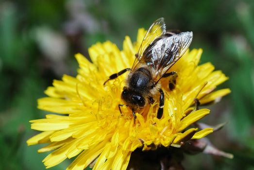 small bee sitting on dandelions bloom in spring and summer