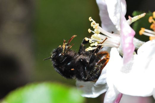 very large bumblebee with schrarze behind some red on a fresh flower and pollen