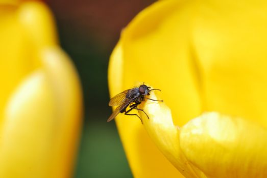 small fly sitting on a yellow tulip in the spring garden and great view