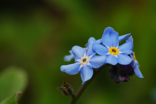 fresh blue flower in the spring forget me not and garden