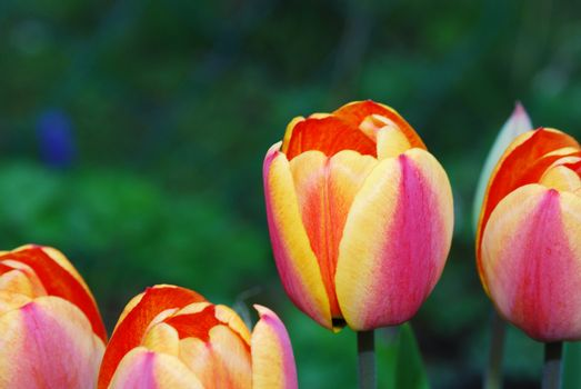 Four bright yellow tulips in the spring and garden