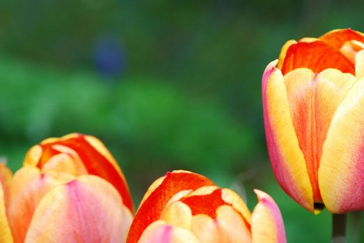 fresh orange red yellow tulips in spring large view