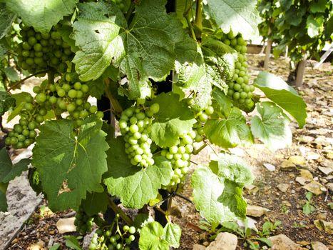 grape at sunny day