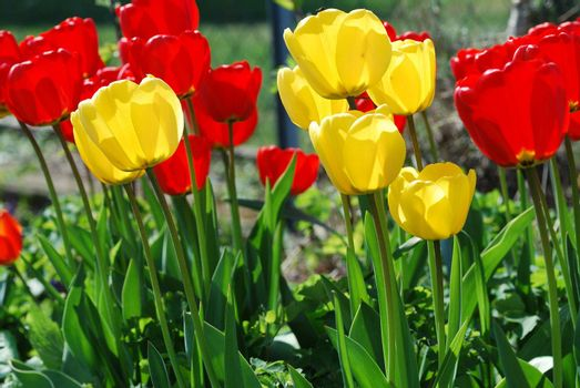 many fresh colorful red and yellow tulips in the garden and spring