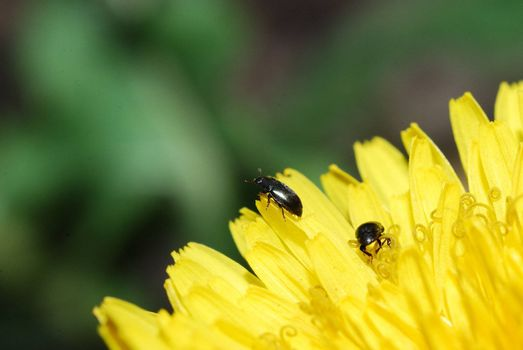 two small black beetle on a fresh yellow dandelion flower