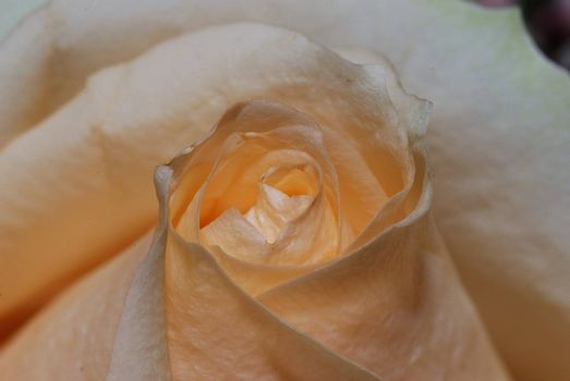 fresh tender bright orange rose in garden in the spring
