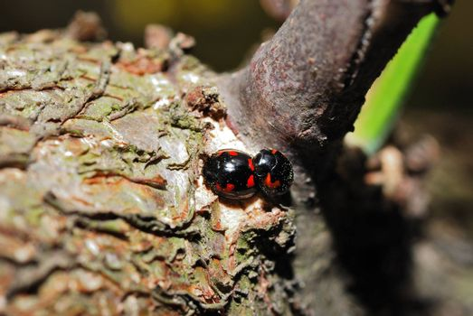 two small red black beetle sitting on a tree in spring