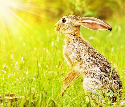 Wild african hare