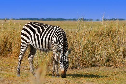 African Wild Zibra grazing