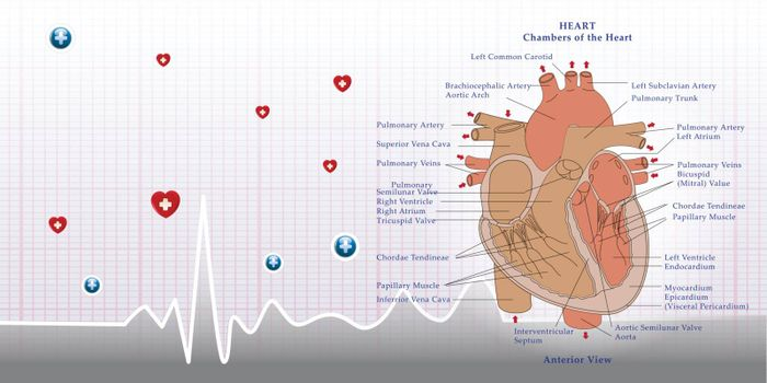 heart anatomy and ecg background