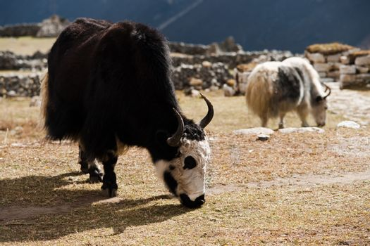 livestock in Nepal: Yak in highland village in Himalayas