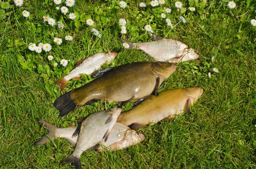 Lake fishes tench, bream, roach on green grass. Active leisure fishing catch.