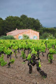 Vineyard in france