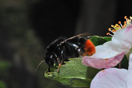 big black bumblebee with a red flower behind some of the summer