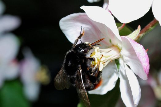 big black bumblebee hanging in white red apple tree blossom in spring