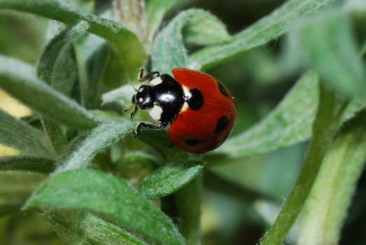 small red black ladybug crawls in leaves in spring