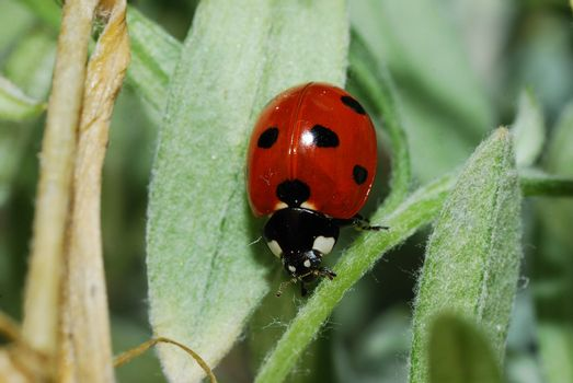 small red black ladybug on a leaf in the spring