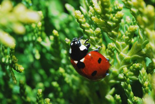 small red black ladybug in a shrub in garden and spring
