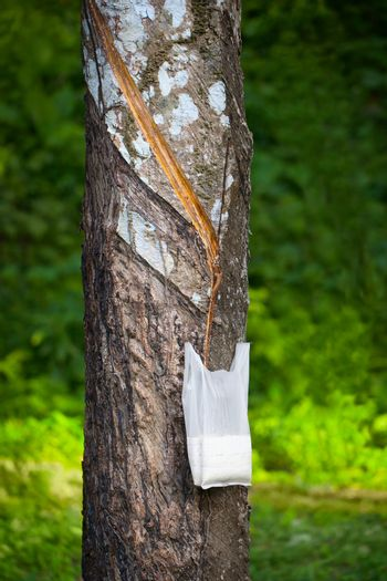 Tapping Hevea tree for latex production
