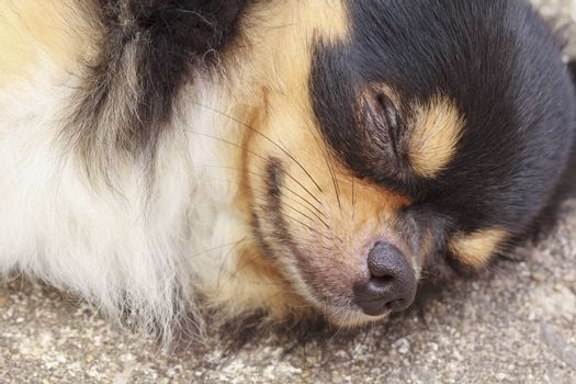 Chihuahua sleeping peacefully on concrete
