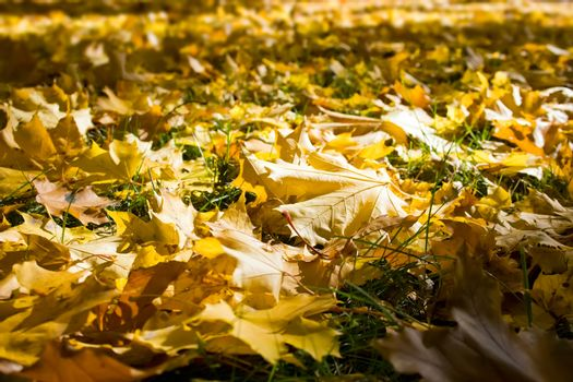 Yellow fallen leaves. It can be used as background