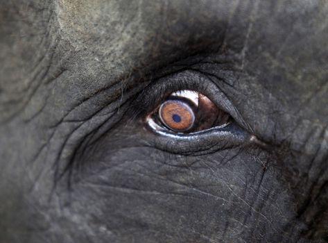 Elephant eye close-up