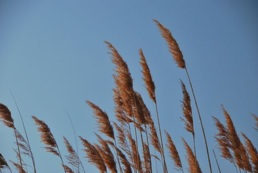 reed with blue sky at the lake in winter or summer