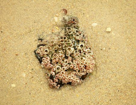 Stone with balanus on sand