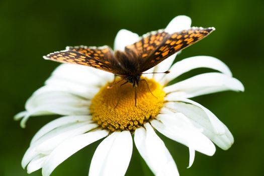 Macro view of butterfly on a chamomile