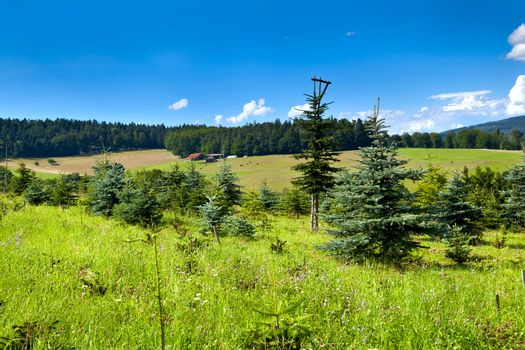 young coniferous forest