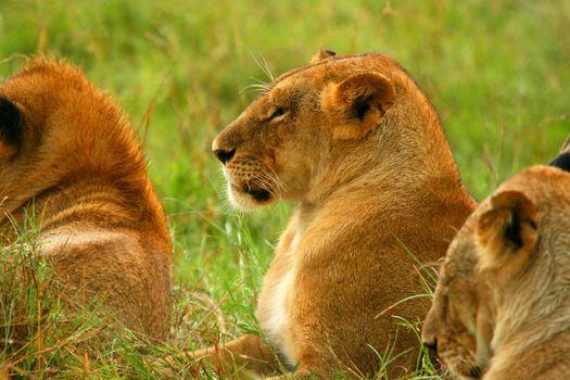 Wild African Lioness