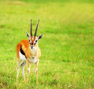 Portrait of antelope