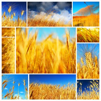 Wheat field collage