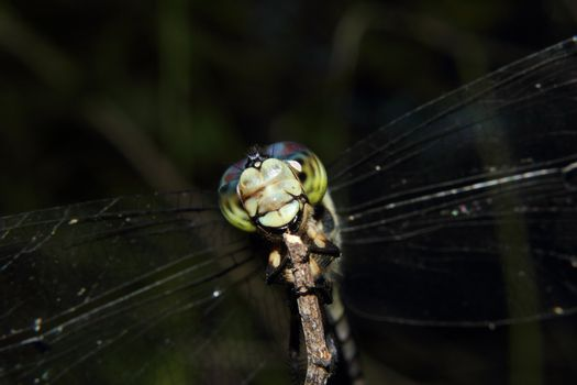 Dragon Fly With Multi-Colored Eyes
