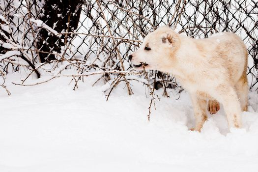 A white central asian puppy standmg in snow near a border