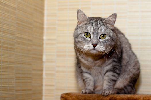 A sitting grey tabby cat