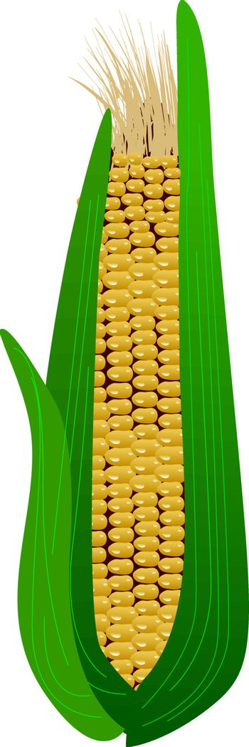 ear of corn in the leaves