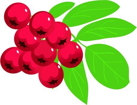 mountain ash or rowan berry