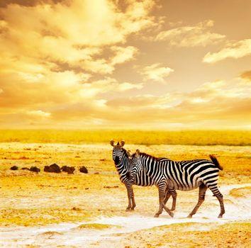 African wild zebras