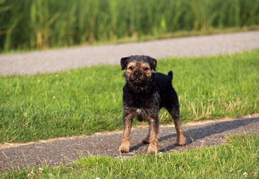 Border Terrier on the path