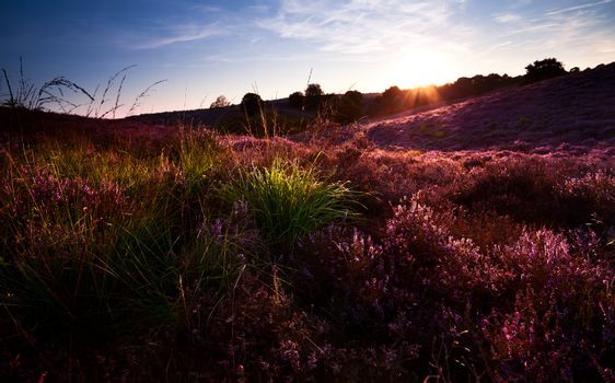 sunset over hill with flowering heather