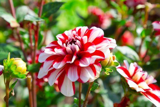 red dahlia in garden