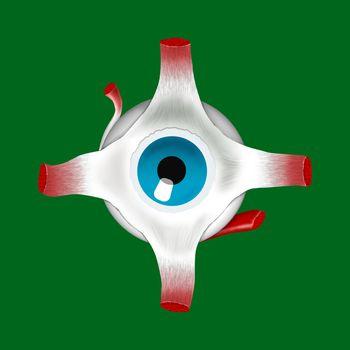 eye with muscle
