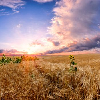 Landscape with wheat field, majestic colorful sunset and beautiful clouds in the sky