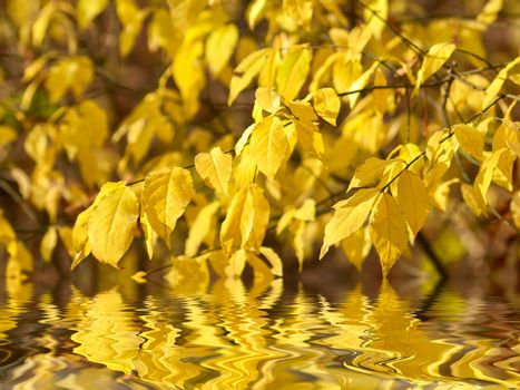 Autumn yellow leaves on branches reflection in water, selective focus