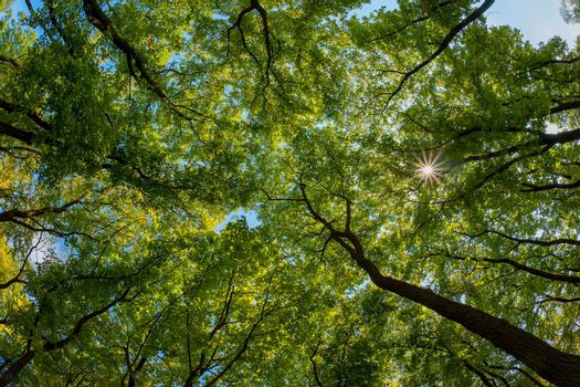 The green trees top in forest, blue sky and sun beams shining through leaves