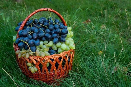 Ripe blue and green grapes in wicker basket on grass in garden, outdoor